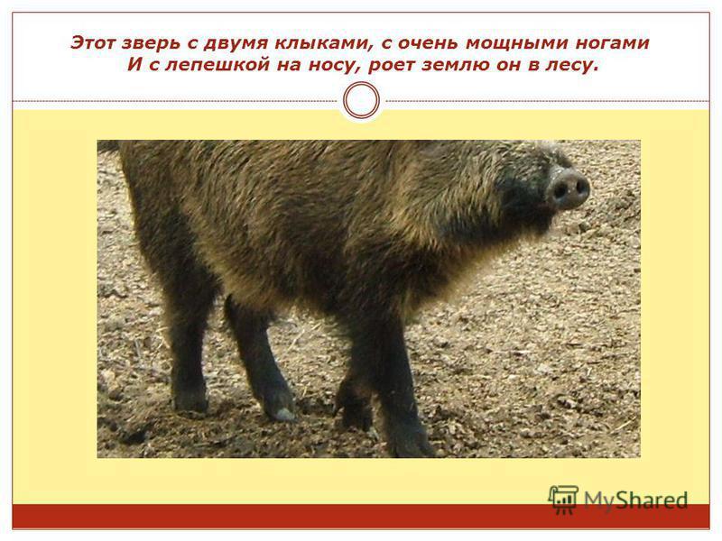 Этот зверь с двумя клыками, с очень мощными ногами И с лепешкой на носу, роет землю он в лесу.