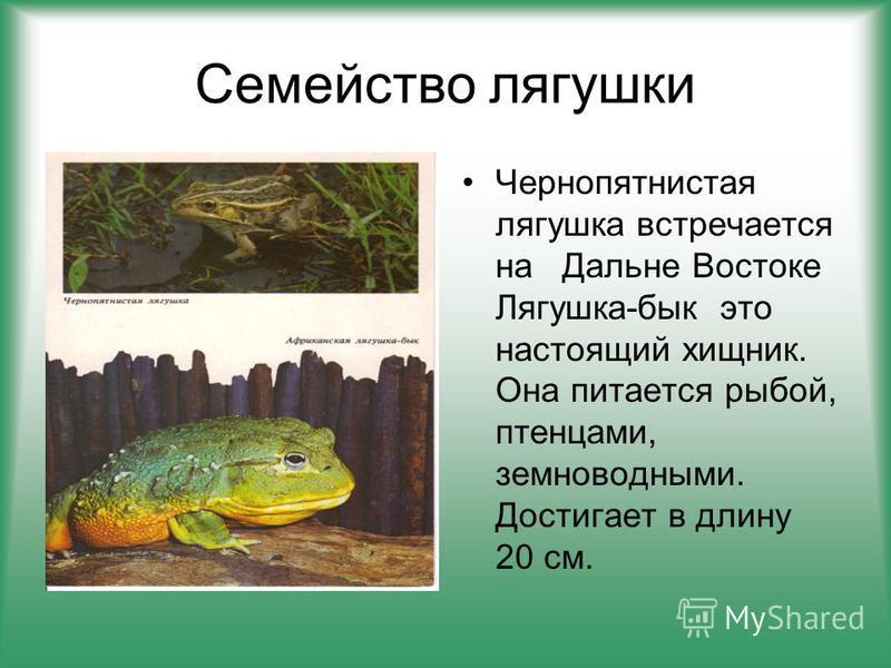 Семейство лягушки Чернопятнистая лягушка встречается на Дальне Востоке Лягушка-бык это настоящий хищник. Она питается рыбой, птенцами, земноводными. Достигает в длину 20 см.