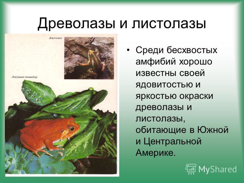Древолазы и листолазы Среди бесхвостых амфибий хорошо известны своей ядовитостью и яркостью окраски древолазы и листолазы, обитающие в Южной и Центральной Америке.