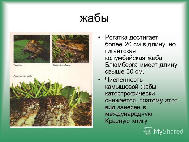 жабы Рогатка достигает более 20 см в длину, но гигантская колумбийская жаба Блюмберга имеет длину свыше 30 см. Численность камышовой жабы катастрофически снижается, поэтому этот вид занесён в международную Красную книгу