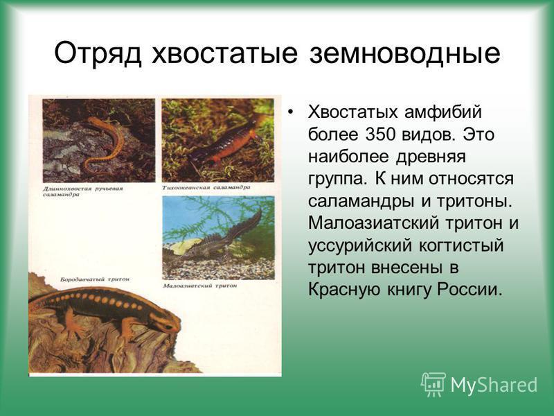 Отряд хвостатые земноводные Хвостатых амфибий более 350 видов. Это наиболее древняя группа. К ним относятся саламандры и тритоны. Малоазиатский тритон и уссурийский когтистый тритон внесены в Красную книгу России.