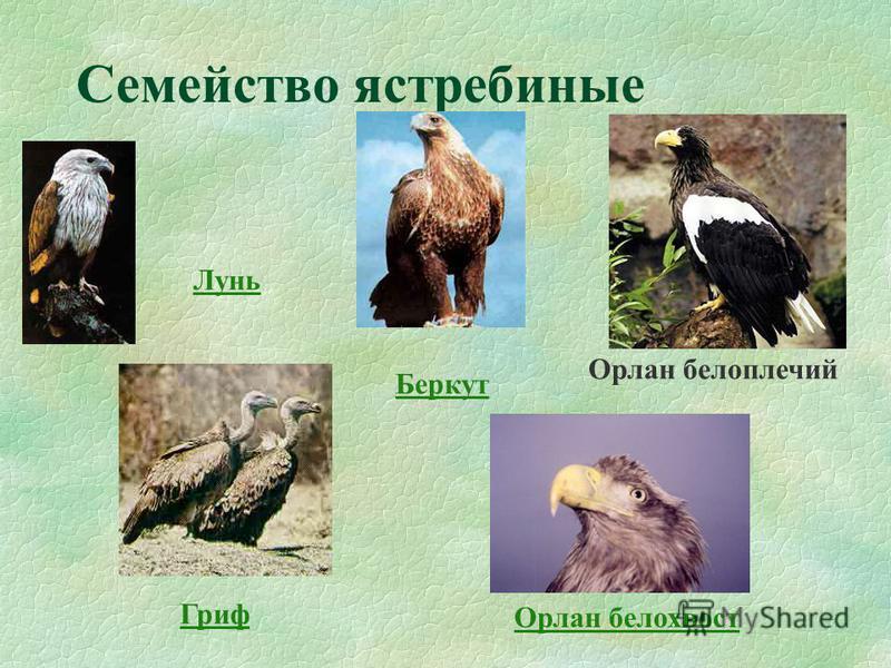 Семейство ястребиные Орлан белоплечий Орлан белохвост Беркут Лунь Гриф
