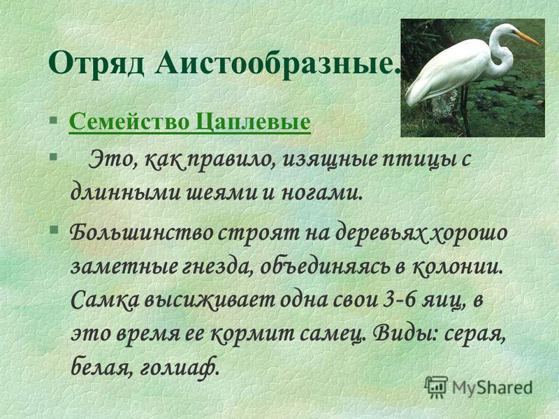 Отряд Аистообразные. §Семейство Цаплевые Семейство Цаплевые Это, как правило, изящные птицы с длинными шеями и ногами. §Большинство строят на деревьях хорошо заметные гнезда, объединяясь в колонии. Самка высиживает одна свои 3-6 яиц, в это время ее к