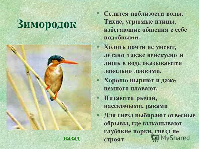 Зимородок §Селятся поблизости воды. Тихие, угрюмые птицы, избегающие общения с себе подобными. §Ходить почти не умеют, летают также неискусно и лишь в воде оказываются довольно ловкими. §Хорошо ныряют и даже немного плавают. §Питаются рыбой, насекомы
