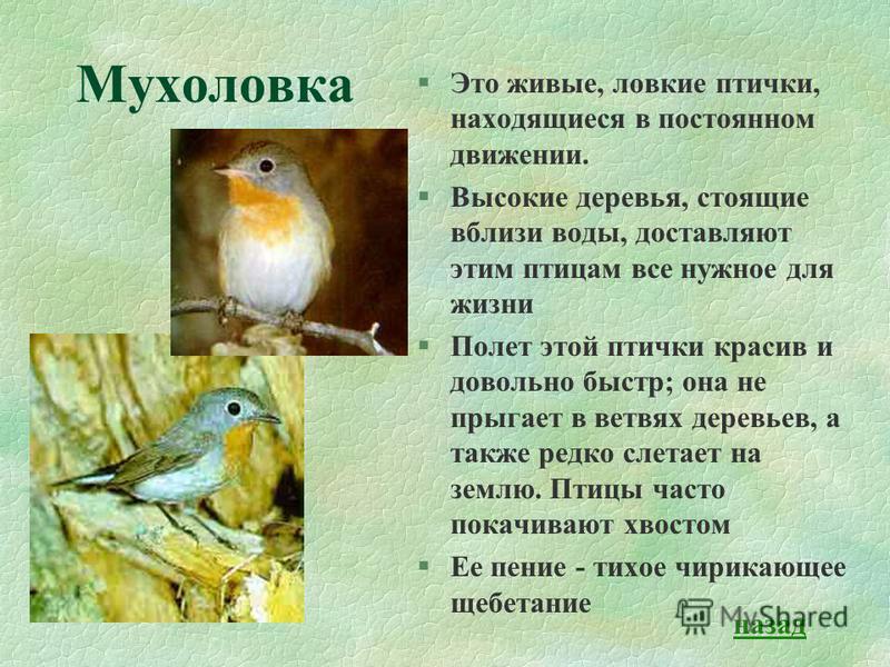 Мухоловка §Это живые, ловкие птички, находящиеся в постоянном движении. §Высокие деревья, стоящие вблизи воды, доставляют этим птицам все нужное для жизни §Полет этой птички красив и довольно быстр; она не прыгает в ветвях деревьев, а также редко сле