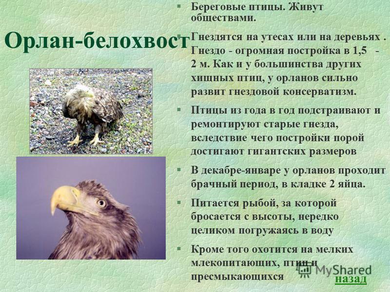 Орлан-белохвост §Береговые птицы. Живут обществами. §Гнездятся на утесах или на деревьях. Гнездо - огромная постройка в 1,5 - 2 м. Как и у большинства других хищных птиц, у орланов сильно развит гнездовой консерватизм. §Птицы из года в год подстраива