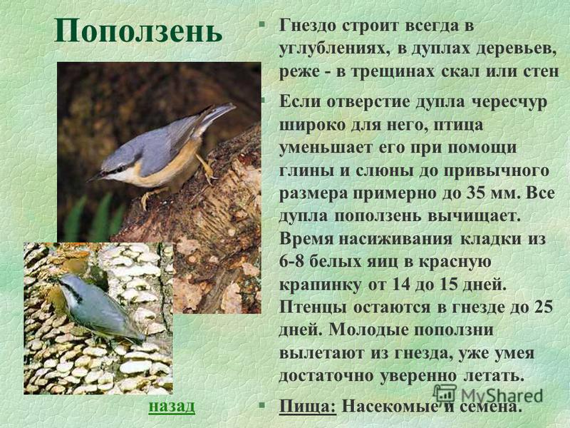 §Гнездо строит всегда в углублениях, в дуплах деревьев, реже - в трещинах скал или стен §Если отверстие дупла чересчур широко для него, птица уменьшает его при помощи глины и слюны до привычного размера примерно до 35 мм. Все дупла поползень вычищает