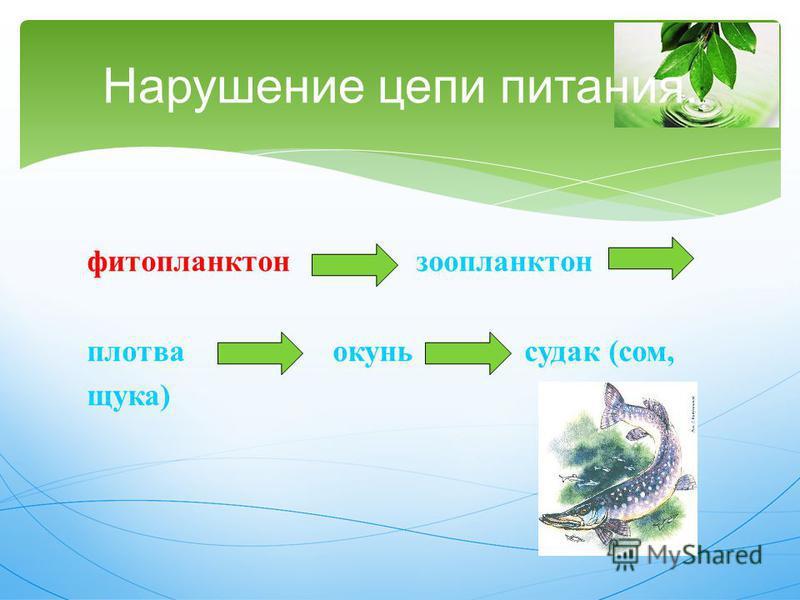 Нарушение цепи питания. фитопланктон зоопланктон плотва окунь судак ( сом, щука )