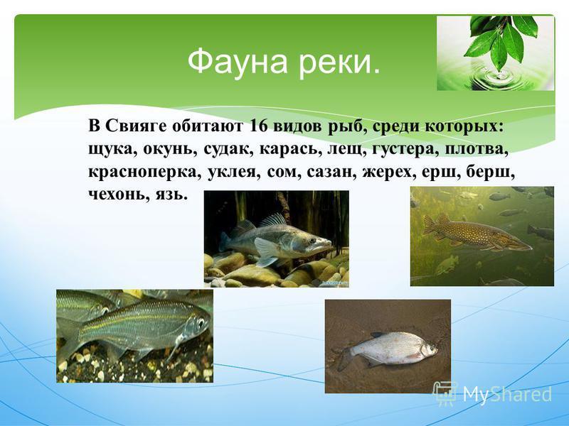 Фауна реки. В Свияге обитают 16 видов рыб, среди которых : щука, окунь, судак, карась, лещ, густера, плотва, красноперка, уклея, сом, сазан, жерех, ерш, берш, чехонь, язь.