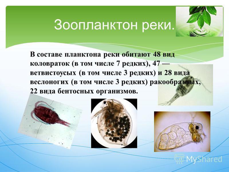Зоопланктон реки. В составе планктона реки обитают 48 вид коловраток ( в том числе 7 редких ), 47 ветвистоусых ( в том числе 3 редких ) и 28 вида веслоногих ( в том числе 3 редких ) ракообразных, 22 вида бентосных организмов.