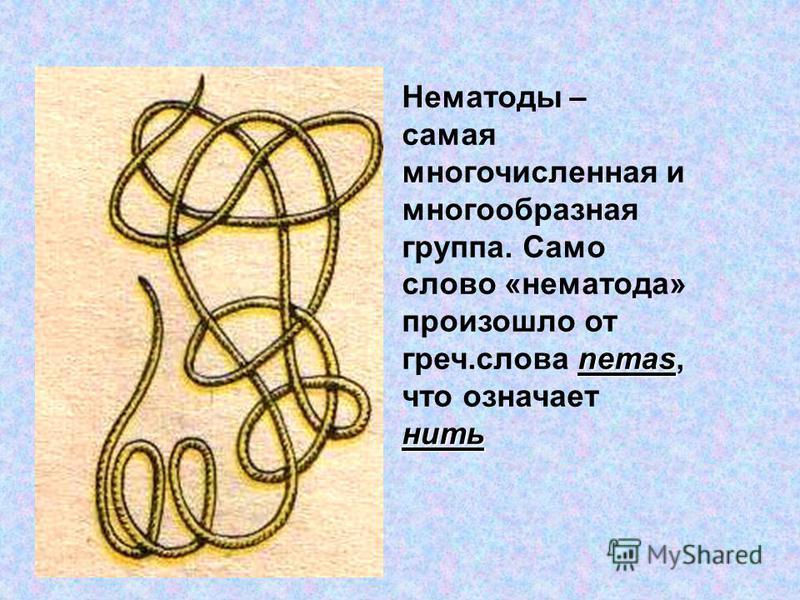 nemas нить Нематоды – самая многочисленная и многообразная группа. Само слово «нематода» произошло от греч.слова nemas, что означает нить