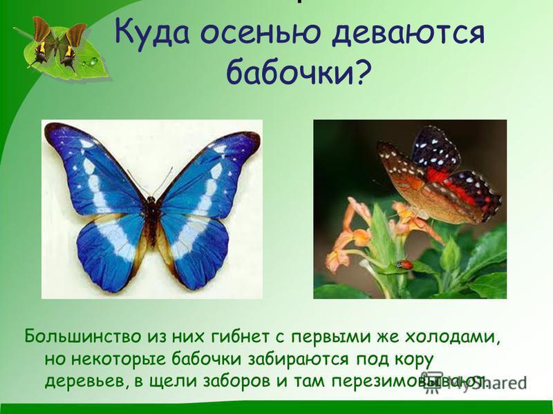 . Куда осенью деваются бабочки? Большинство из них гибнет с первыми же холодами, но некоторые бабочки забираются под кору деревьев, в щели заборов и там перезимовывают.