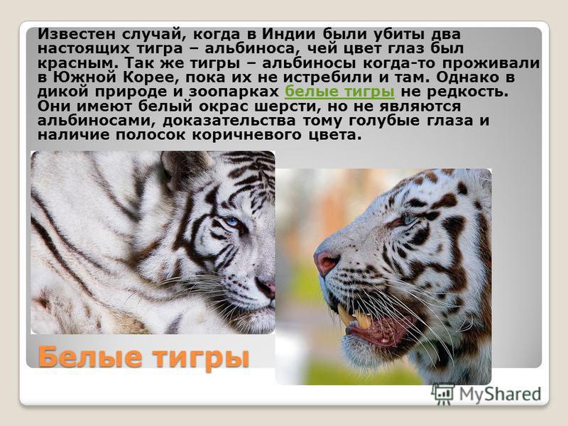 Белые тигры Известен случай, когда в Индии были убиты два настоящих тигра – альбиноса, чей цвет глаз был красным. Так же тигры – альбиносы когда-то проживали в Южной Корее, пока их не истребили и там. Однако в дикой природе и зоопарках белые тигры не