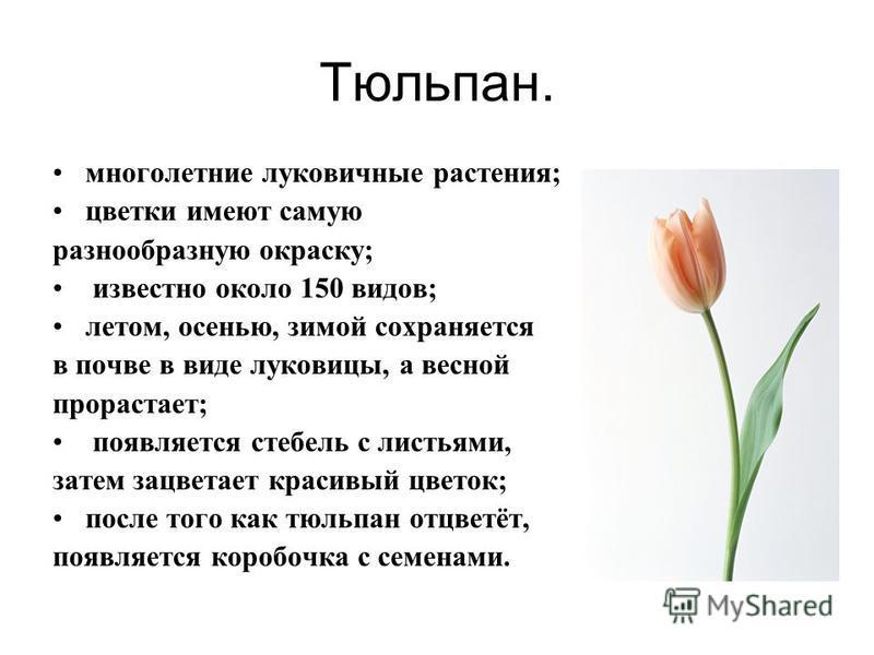Тюльпан. многолетние луковичные растения; цветки имеют самую разнообразную окраску; известно около 150 видов; летом, осенью, зимой сохраняется в почве в виде луковицы, а весной прорастает; появляется стебель с листьями, затем зацветает красивый цвето