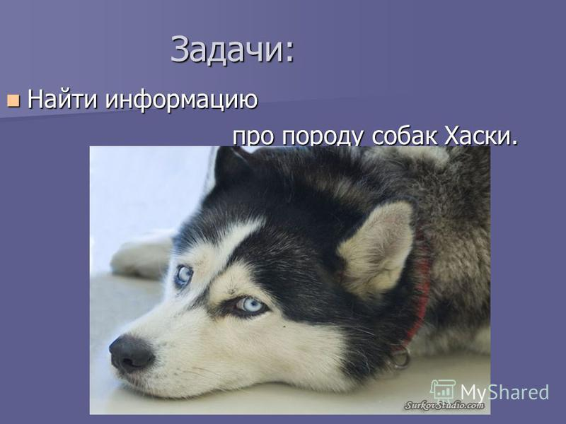 Задачи: Найти информацию Найти информацию про породу собак Хаски.