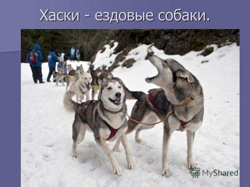 Хаски - ездовые собаки.