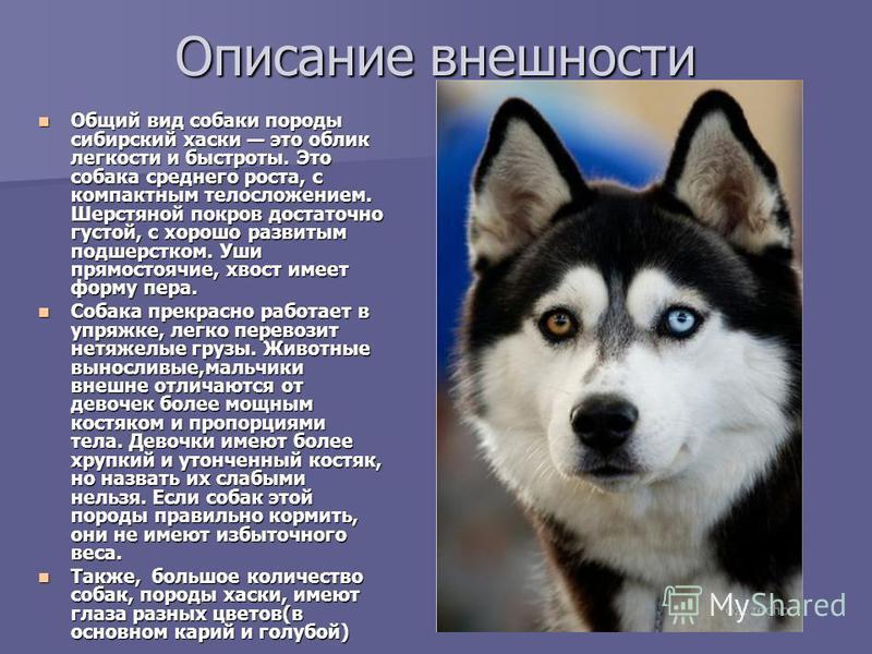 Описание внешности Общий вид собаки породы сибирский хаски это облик легкости и быстроты. Это собака среднего роста, с компактным телосложением. Шерстяной покров достаточно густой, с хорошо развитым подшерстком. Уши прямостоячие, хвост имеет форму пе