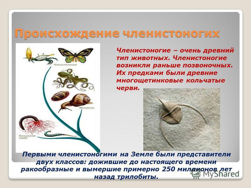 Происхождение членистоногих Членистоногие – очень древний тип животных. Членистоногие возникли раньше позвоночных. Их предками были древние многощетинковые кольчатые черви. Первыми членистоногими на Земле были представители двух классов: дожившие до