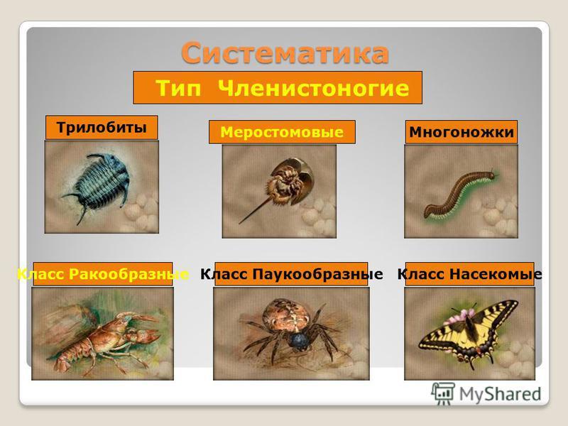 Систематика Тип Членистоногие Меростомовые ТрилобитыМногоножки Класс Ракообразные Класс Паукообразные Класс Насекомые