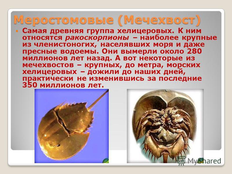 Меростомовые (Мечехвост) Самая древняя группа хелицеровых. К ним относятся ракоскорпионы – наиболее крупные из членистоногих, населявших моря и даже пресные водоемы. Они вымерли около 280 миллионов лет назад. А вот некоторые из мечехвостов – крупных,