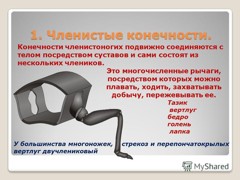 1. Членистые конечности. 1. Членистые конечности. Конечности членистоногих подвижно соединяются с телом посредством суставов и сами состоят из нескольких члеников. Это многочисленные рычаги, посредством которых можно плавать, ходить, захватывать добы