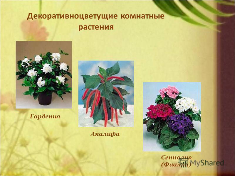 Декоративноцветущие комнатные растения Гардения Сенполия (Фиалка) Акалифа