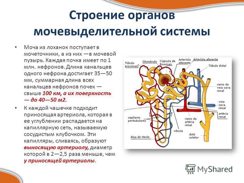 Строение органов мочевыделительной системы Моча из лоханок поступает в мочеточники, а из них в мочевой пузырь. Каждая почка имеет по 1 млн. нефронов. Длина канальцев одного нефрона достигает 3550 мм, суммарная длина всех канальцев нефронов почек свыш