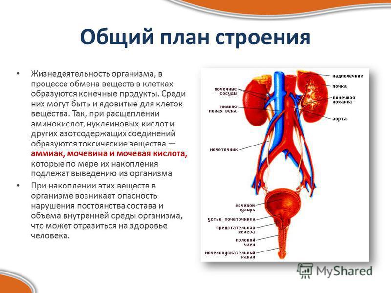Общий план строения Жизнедеятельность организма, в процессе обмена веществ в клетках образуются конечные продукты. Среди них могут быть и ядовитые для клеток вещества. Так, при расщеплении аминокислот, нуклеиновых кислот и других азотсодержащих соеди