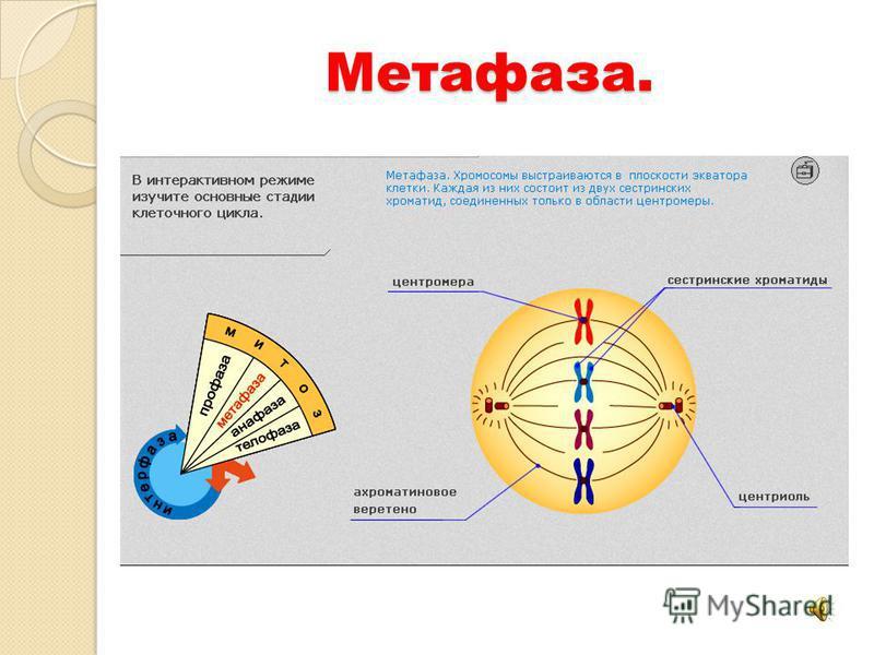 Метафаза.