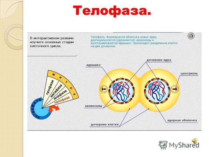 Телофаза.