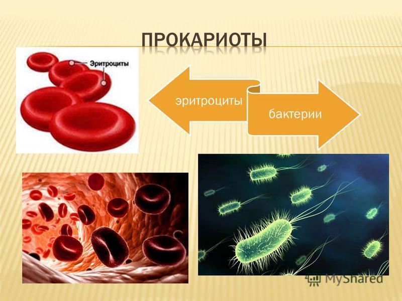 эритроциты бактерии