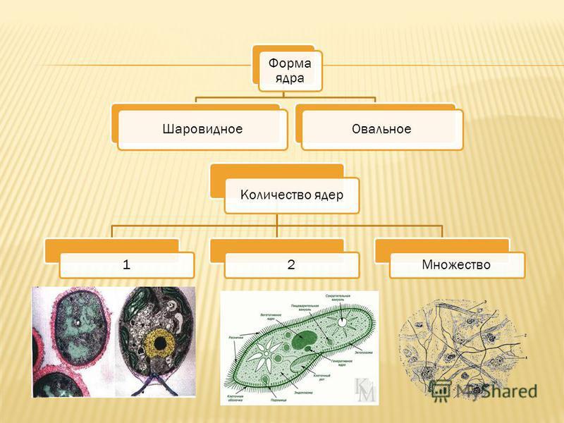 Форма ядра Шаровидное Овальное Количество ядер 12Множество