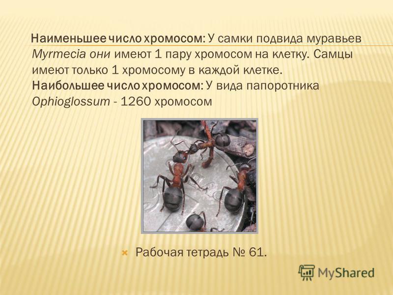 Наименьшее число хромосом: У самки подвида муравьев Myrmecia они имеют 1 пару хромосом на клетку. Самцы имеют только 1 хромосому в каждой клетке. Наибольшее число хромосом: У вида папоротника Ophioglossum - 1260 хромосом Рабочая тетрадь 61.