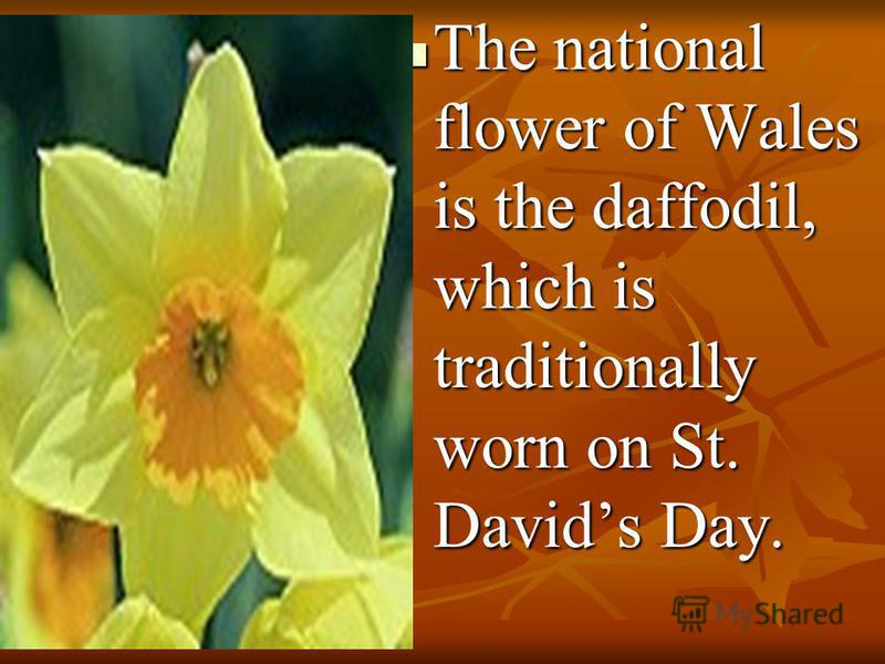 The national flower of Wales is the daffodil, which is traditionally worn on St. Davids Day. The national flower of Wales is the daffodil, which is traditionally worn on St. Davids Day.