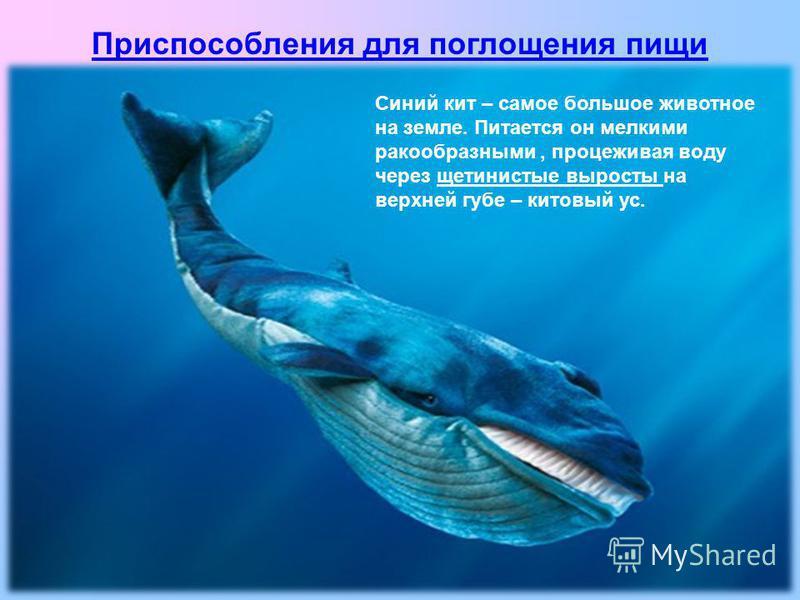 Синий кит – самое большое животное на земле. Питается он мелкими ракообразными, процеживая воду через щетинистые выросты на верхней губе – китовый ус. Приспособления для поглощения пищи