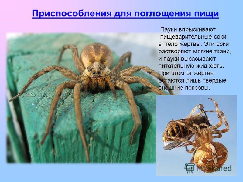 Пауки впрыскивают пищеварительные соки в тело жертвы. Эти соки растворяют мягкие ткани, и пауки высасывают питательную жидкость. При этом от жертвы остаются лишь твердые внешние покровы. Приспособления для поглощения пищи