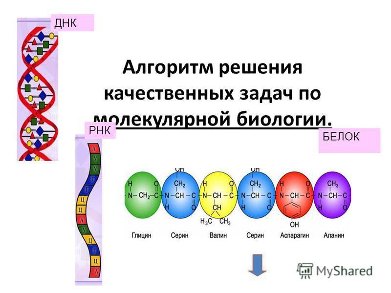 Алгоритм решения качественных задач по молекулярной биологии. ДНК РНК БЕЛОК