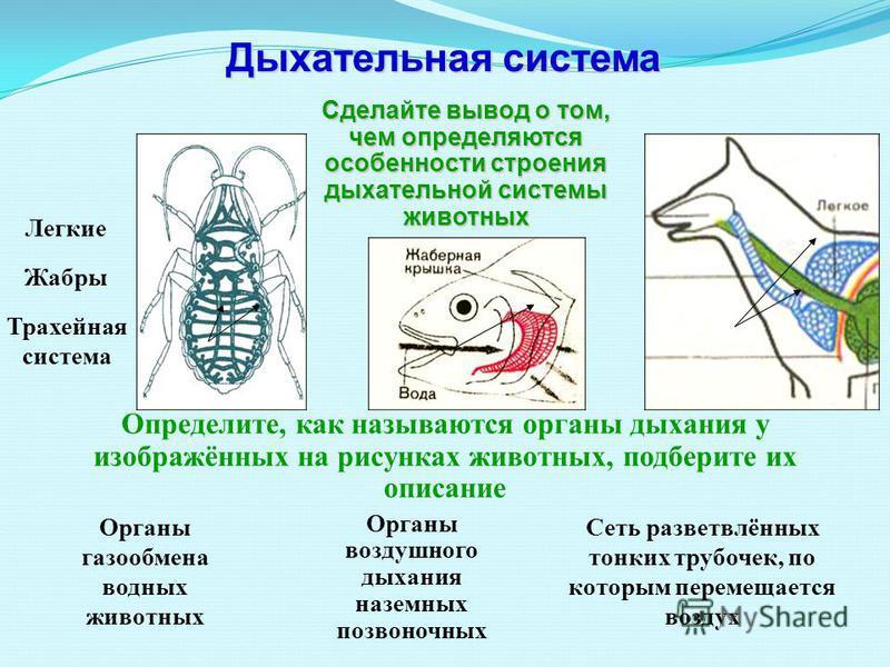 Трахейная система Легкие Жабры Сделайте вывод о том, чем определяются особенности строения дыхательной системы животных Органы воздушного дыхания наземных позвоночных Органы газообмена водных животных Сеть разветвлённых тонких трубочек, по которым пе