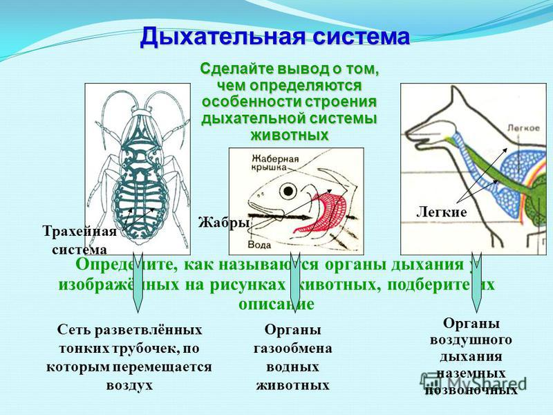 Легкие Жабры Сделайте вывод о том, чем определяются особенности строения дыхательной системы животных Органы воздушного дыхания наземных позвоночных Органы газообмена водных животных Сеть разветвлённых тонких трубочек, по которым перемещается воздух