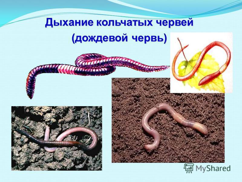 Дыхание кольчатых червей (дождевой червь)