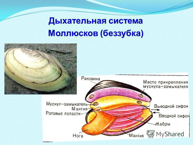 Дыхательная система Моллюсков (беззубка)