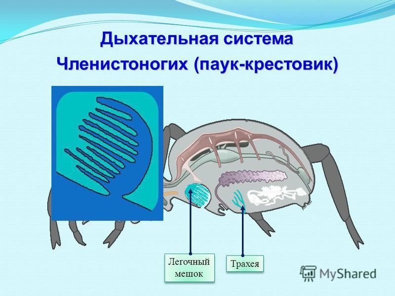 Трахея Легочный мешок Дыхательная система Членистоногих (паук-крестовик)