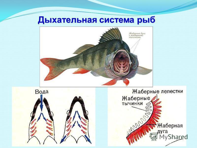 Дыхательная система рыб