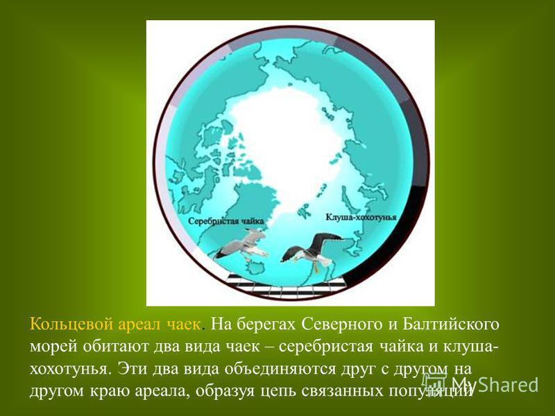 Кольцевой ареал чаек. На берегах Северного и Балтийского морей обитают два вида чаек – серебристая чайка и клуша- хохотунья. Эти два вида объединяются друг с другом на другом краю ареала, образуя цепь связанных популяций