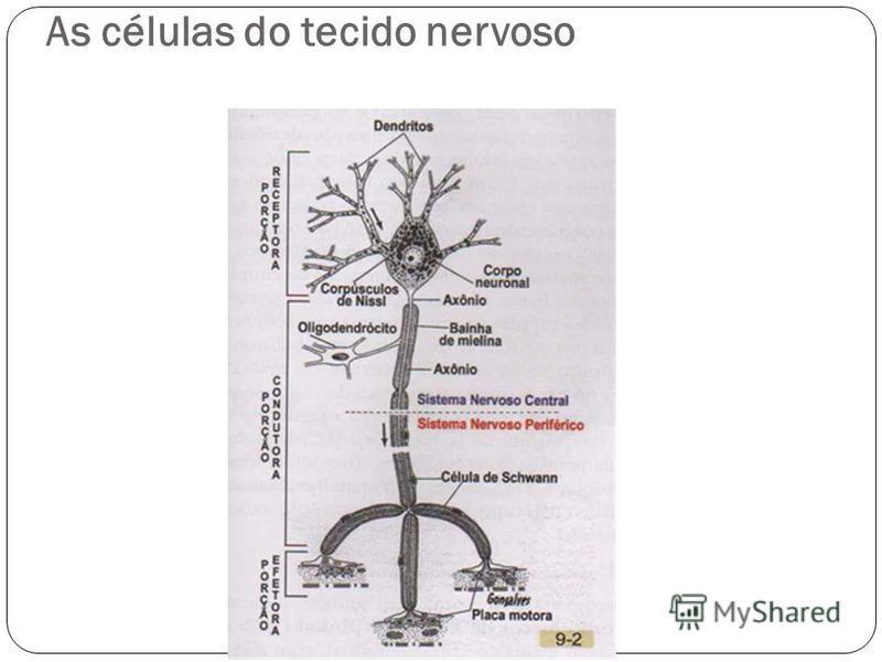 As células do tecido nervoso