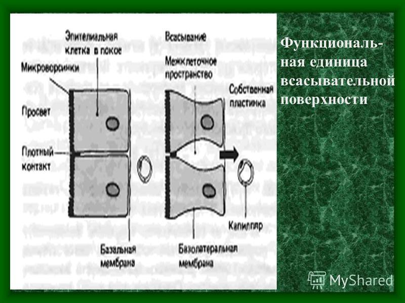 Функциональ- ная единица всасывательной поверхности