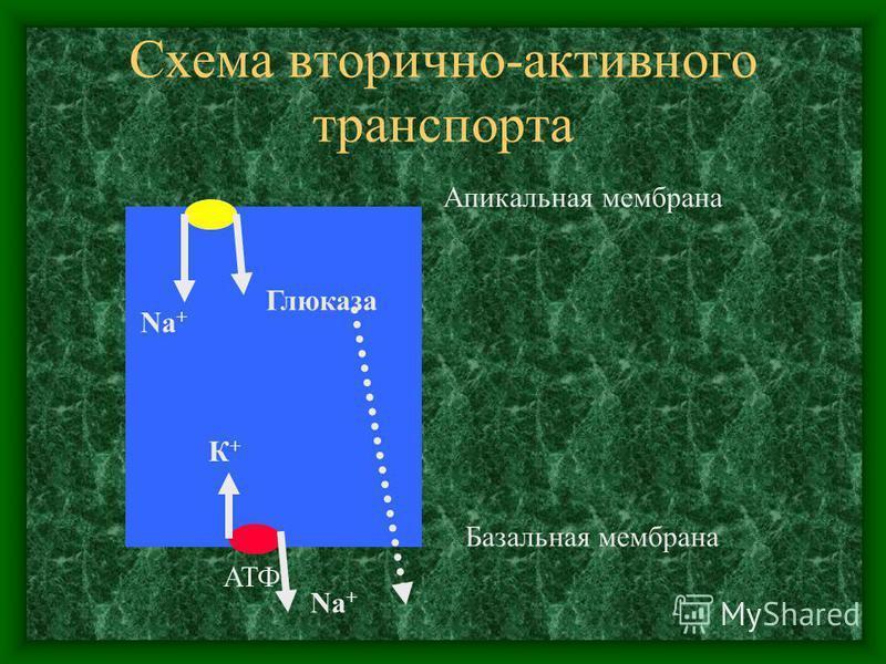Схема вторично-активного транспорта АТФ К+К+ Na + Глюказа Апикальная мембрана Базальная мембрана