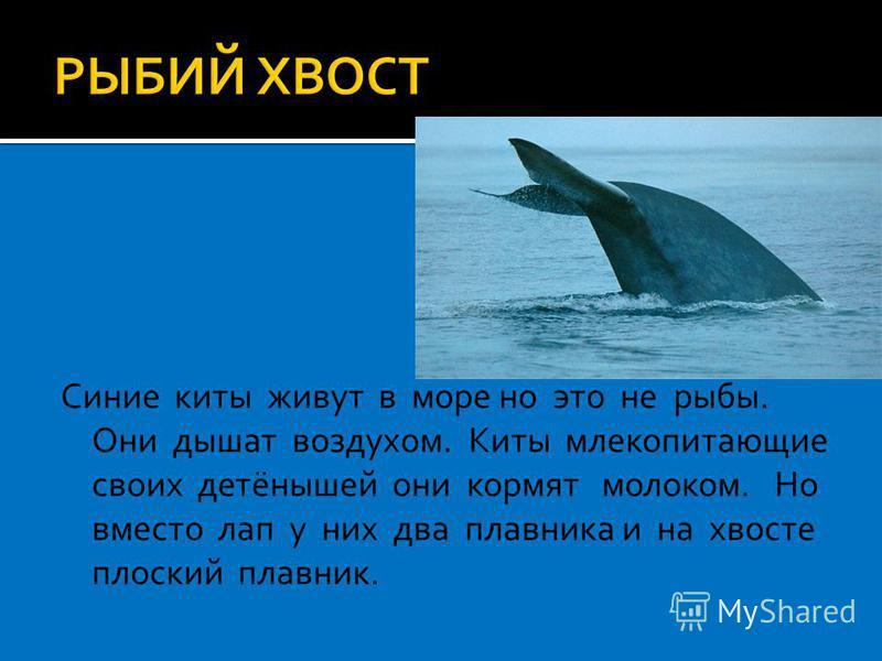 Синие киты живут в море но это не рыбы. Они дышат воздухом. Киты млекопитающие своих детёнышей они кормят молоком. Но вместо лап у них два плавника и на хвосте плоский плавник.