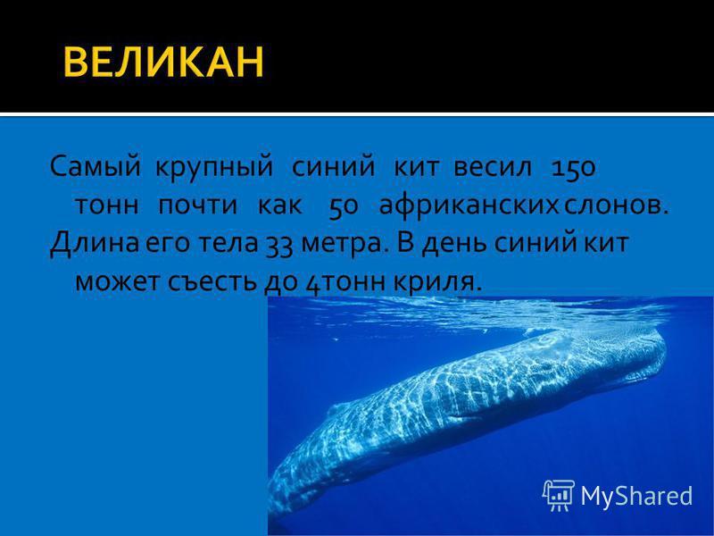 Самый крупный синий кит весил 150 тонн почти как 50 африканских слонов. Длина его тела 33 метра. В день синий кит может съесть до 4 тонн криля.