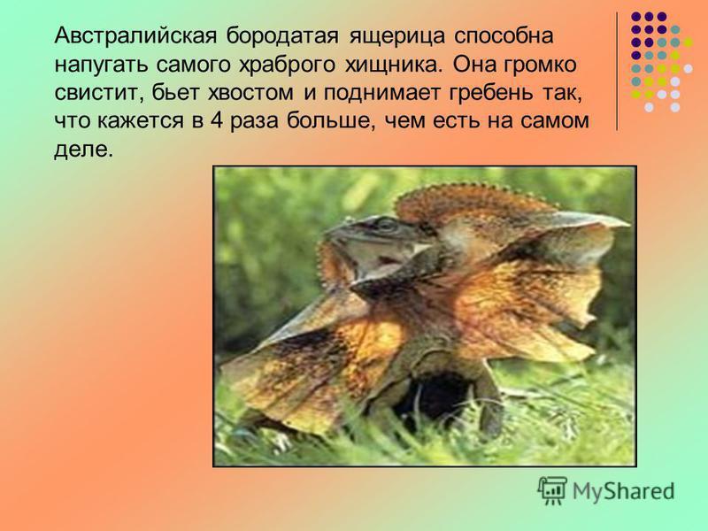 Австралийская бородатая ящерица способна напугать самого храброго хищника. Она громко свистит, бьет хвостом и поднимает гребень так, что кажется в 4 раза больше, чем есть на самом деле.